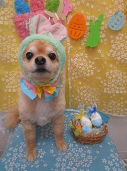 Chihuahua Easter