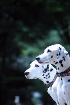 Two Dalmatian