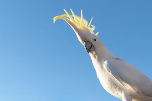 澳大利亞基巴丹野鳥英文名稱Cockatoo一隻鳥