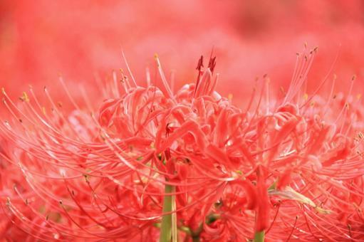 피안 꽃 3