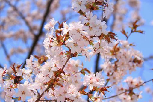 에조 산 벚나무