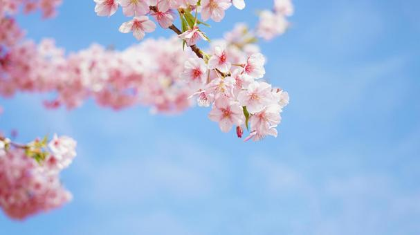 Kawazu cherry blossoms in full bloom with blue sky Cherry blossoms up Cherry blossom background