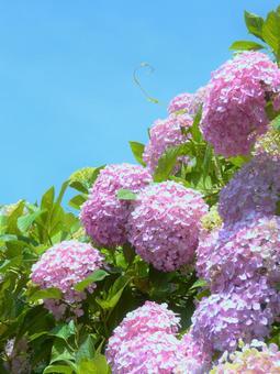 粉紅色的繡球花和天空繡球花 天空繡球花