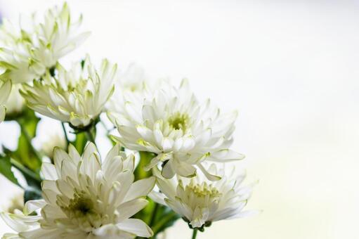 흰 국화 꽃