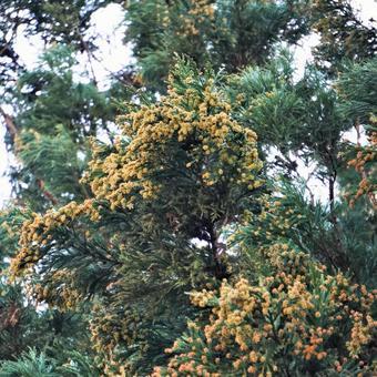 삼나무 꽃가루 2 월 광장