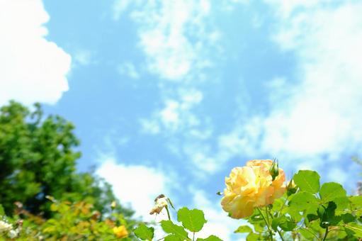 푸른 하늘에 노란 장미