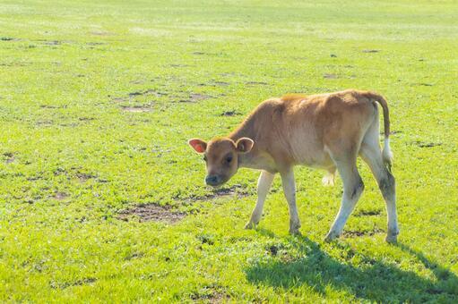 Mongolian prairie calf