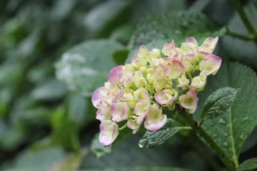 Hydrangea Hydrangea Hydrangea Beautiful Beautiful Fantastic Leaf Grace Cute Rain Rainy Season Vivid