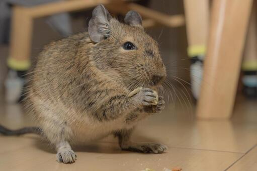 [애완 동물] 간식을 먹고있는 데구 【데구】