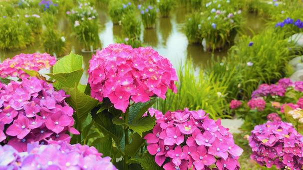 Hydrangea blooming by the pond 005