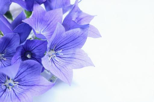 Kikyo white bellflower light tint