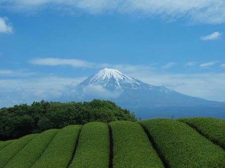 Mount Fuji and tea plant 4