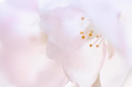 桜の花びらのクローズアップ