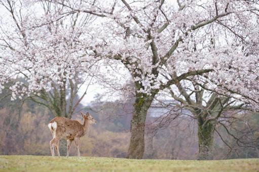 Deer and sakura