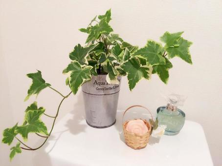 Feng Shui at the houseplant (Ivy · Hedera)