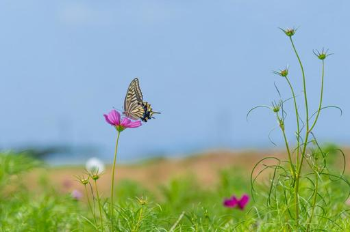 Cosmos and swallowtail butterfly