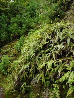 屋久島蕨類植物1