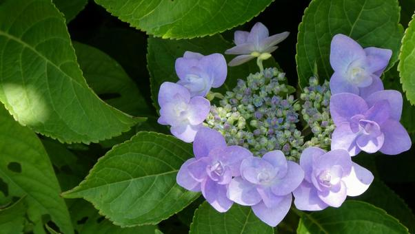 Hydrangea flowers in the sunlight through the trees 2