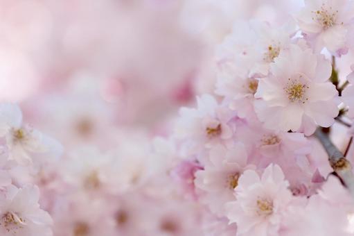 수양 벚꽃