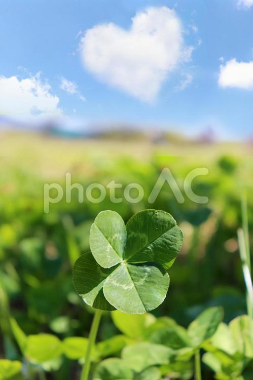 幸運の四つ葉のクローバーとハートの雲 春 植物 新緑の写真