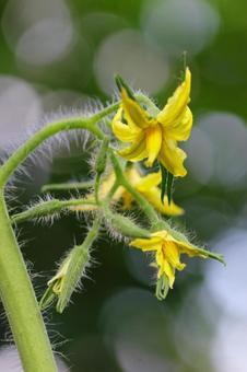 토마토 꽃 클로즈업