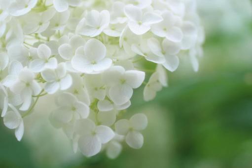 흰 수국 애나벨 12