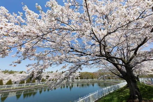Sakura in Hokkaido