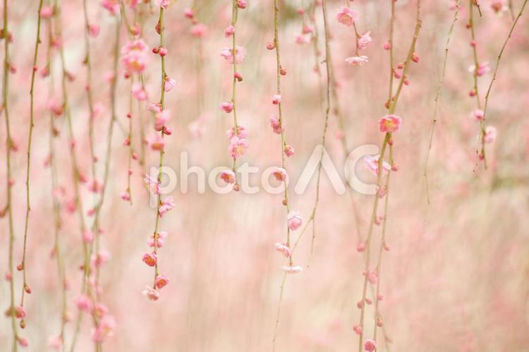 可憐なしだれ梅の写真