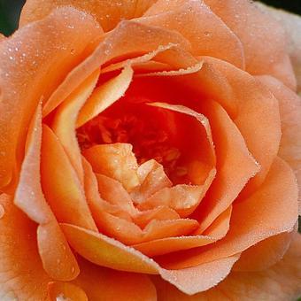 三文魚粉紅玫瑰微距攝影與晨露 科學名稱孟加拉語