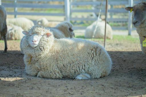 Sheep 31