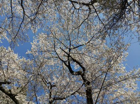 산 벚나무 후쿠시마시 飯坂町茂庭