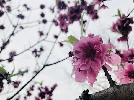 Purple pink peach blossom