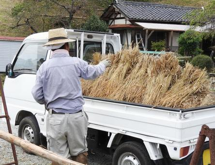 Male 01 loading rice on light tiger