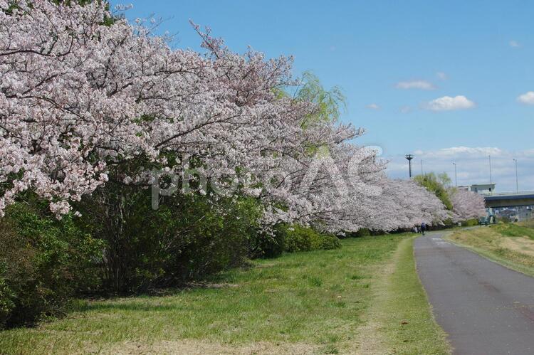 桜が満開の歩道の写真