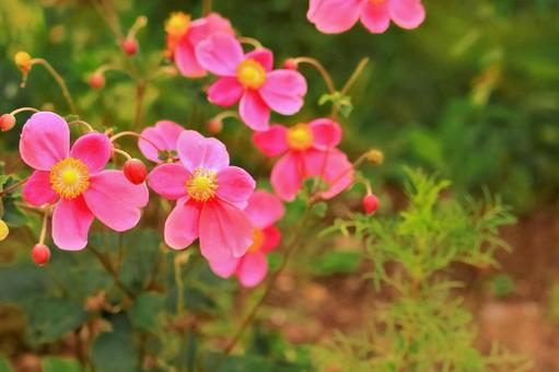 Bright pink anemone