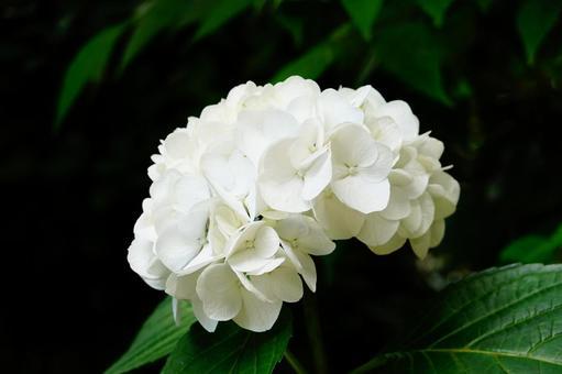 京都三室寺白繡球
