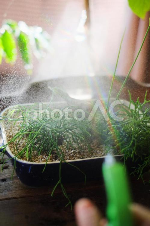 植物に霧吹きで水をやるの写真