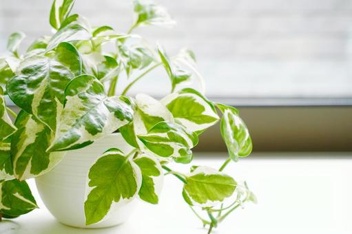 Ornamental plants, mini plants, pothos by the window