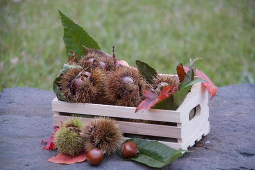 Picking chestnuts