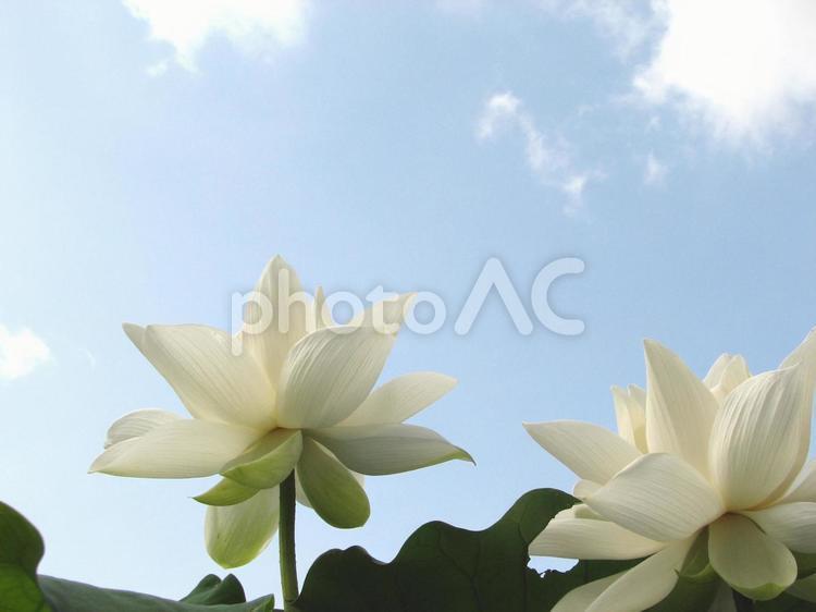 蓮31 夏空とハス ハス はす 花 夏の写真