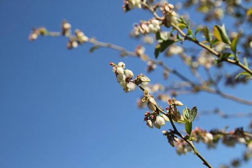 Blueberry flower 09