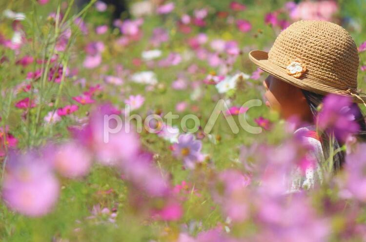 秋桜畑の写真