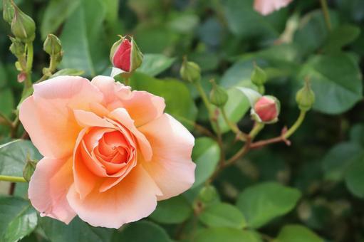 아름다운 분홍색 장미와 버드