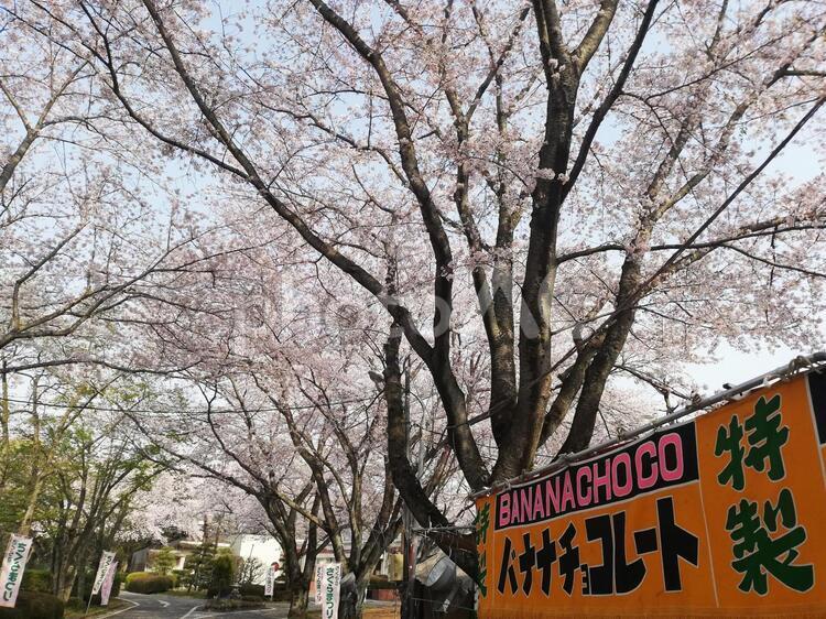 桜と屋台の写真