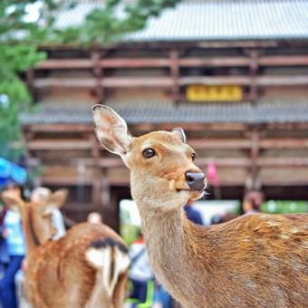 Nara sightseeing deer