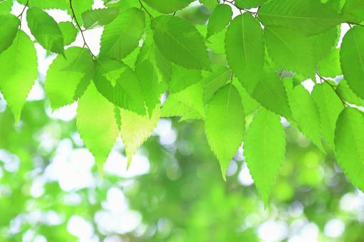 Fresh green leaf zelkova