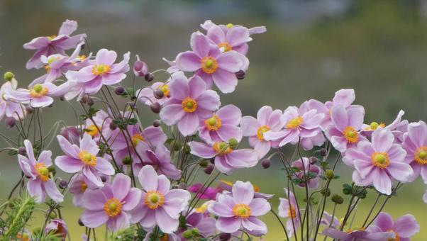 Japanese anemone flower pink 2