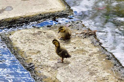 Parent and child of duck