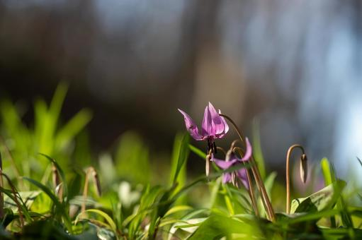 The erythronium begins to bloom