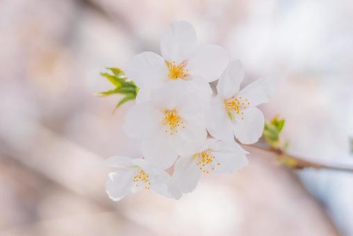 Nakano Arai Yakushi's row of cherry blossom trees